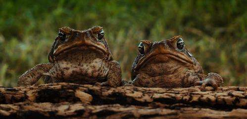 Everyone agreed: cane toads would be a winner for Australia