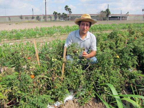 Farmers markets driving tomato research