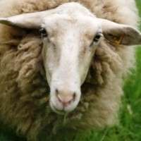 Fears of Japanese aggression in wool trade