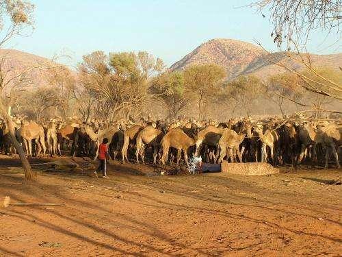 Feral camel management across remote Australia – a successful outcome