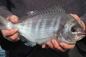 Fishermen join scientists to track estuary black bream