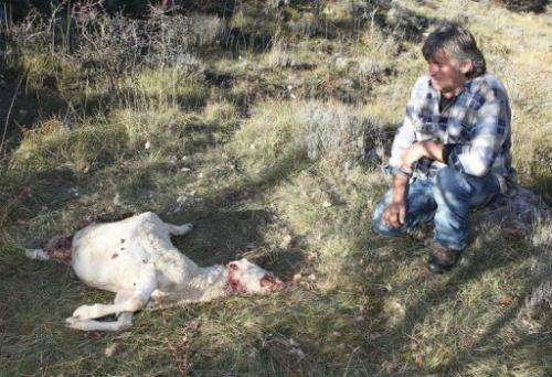 French shepherd Bernard Bruno looks at one of his sheep, killed by wolves three days before, on November 7, 2012
