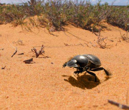 Galloping beetles could be counting steps