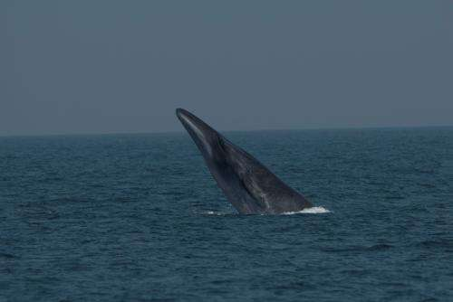 Genetics used to sort out poorly known -- and hunted -- whale species