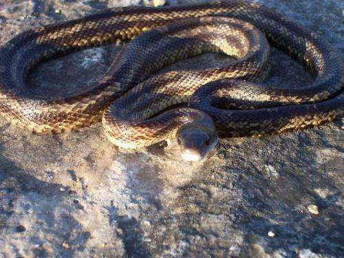 Global warming beneficial to ratsnakes