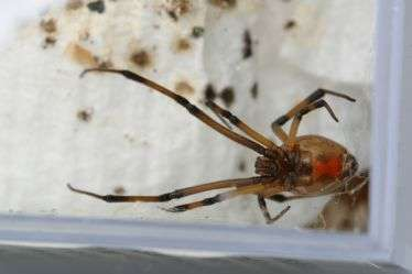 Got brown widow spiders? Entomologists seek the public's help for a summer research project