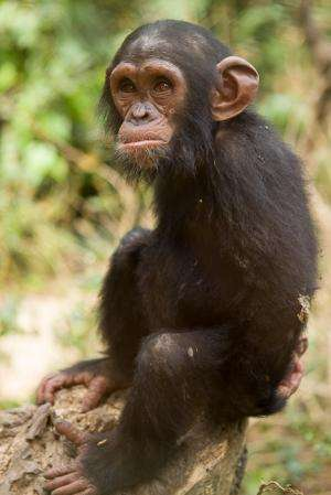 Great ape genetic diversity catalog frames primate evolution and future conservation