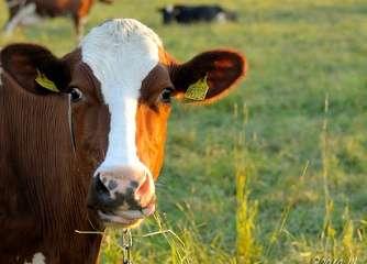 Greener milk: How to make cow's nitrogen intake efficient