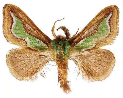 Green flame moths: Scientists discover 2 new Limacodidae species from China and Taiwan