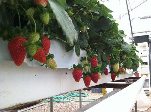 Growing Hydroponic Strawberries in the Desert