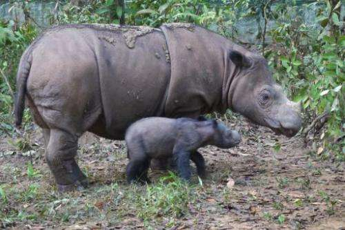Handout photo released on June 25, 2012 shows baby Sumatran rhinoceros Andatu and mother Ratu in a park in Indonesia
