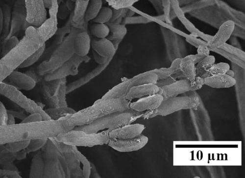 Harnessing plant-invading fungi for fuel