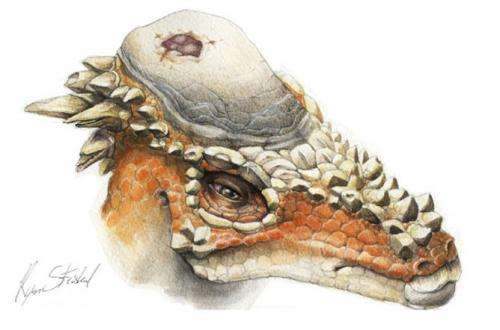 Head-butting did not lure mates for horny-domed dinosaur