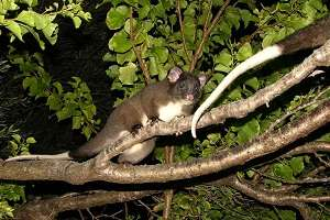 Hot spells threaten ringtail habitat