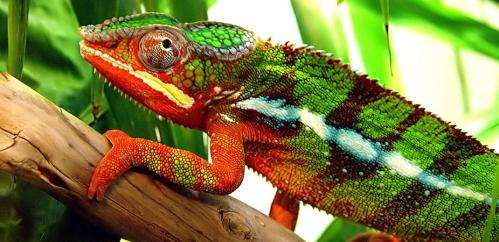 How do chameleons and other creatures change colour?