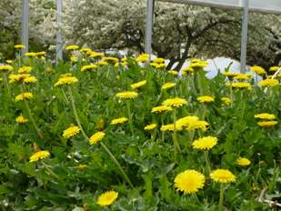 Improved-yield dandelions prepped for tire production