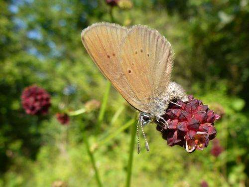Infected butterflies lead geneticists up the garden path