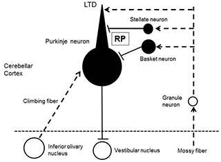 Inhibitory synaptic plasticity in the cerebellum contributes to motor learning