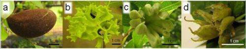 """Insects' manipulation of plant phenotype that realized their ultimate """"su-gomori life (Reclusive life in the nest)"""""""