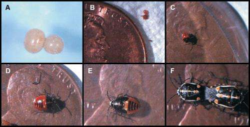 Integrated pest managment techniques can help manage the Bagrada bug