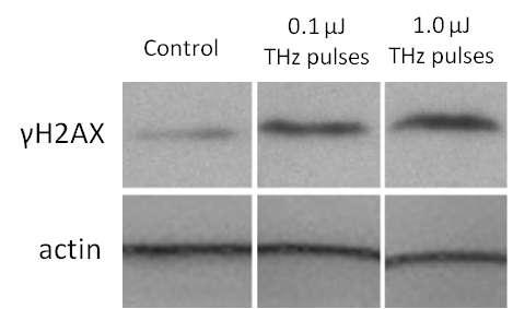 Intense terahertz pulses cause DNA damage but also induce DNA repair