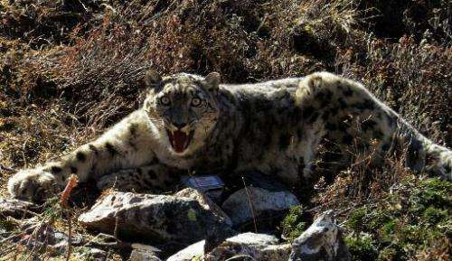 In this handout photograph released by the World Wildlife Fund (WWF) Nepal on December 18, a rare snow leopard is seen after bei