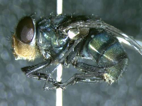 Invasive fly species continues to move northward