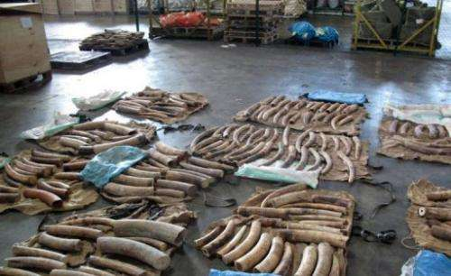Ivory confiscated by the Singapore Customs department on January 30, 2013