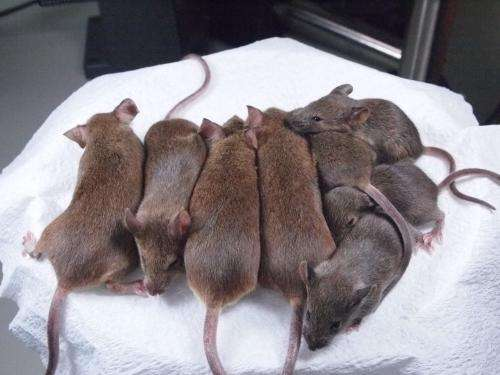 Japanese researchers succeed in making generations of mouse clones