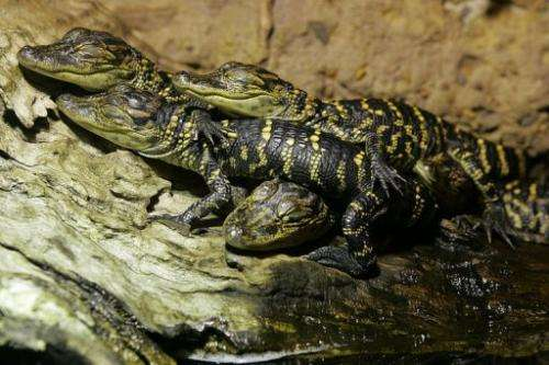 Juvenile American alligators are seen at the Australian Reptile Park, near Sydney, on October 8, 2004