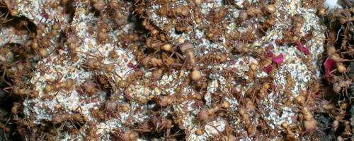 Leaf cutter ants inspire powerful new anti-cancer drugs