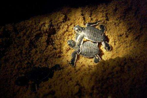 Leatherback turtle hatchlings make their way into the sea after being released on a beach at a turtle sanctuary near the eastern