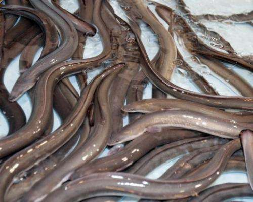 Live eels, imported from Taiwan, are shown at a Tokyo hotel in 2008