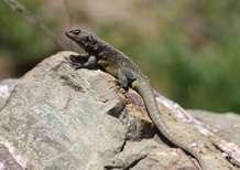 Lizards facing mass extinction