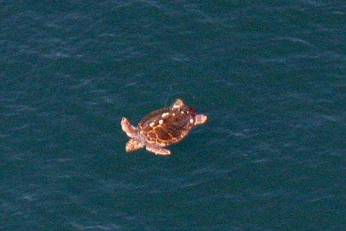 Loggerhead sea turtle nesting activity driven by recent climate conditions and returning nesting