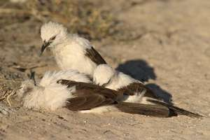 Loner birds eavesdrop on others for survival