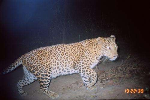 Look out squirrels: Leopards are new backyard wildlife