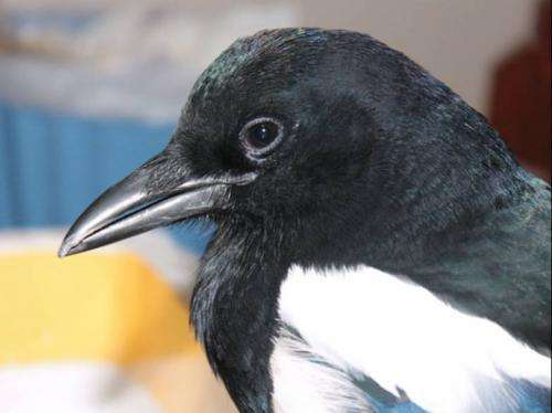 Magpies take decisions faster when humans look at them