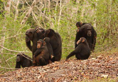Malaria protection in chimpanzees