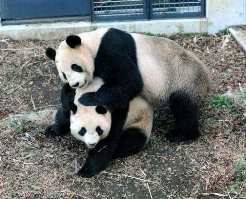 """Male and female giant pandas, """"Ri Ri"""" (top) and """"Shin Shin"""", are shown at Tokyo's Ueno Zoological Park, Marc"""