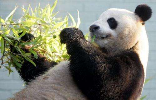 Male giant Panda Yang Guang (Sunshine) relaxes with some bamboo in his enclosure at Edinburgh Zoo on December 12, 2011