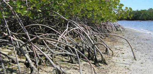 Mangroves could survive sea-level rise if protected