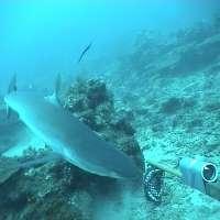 Marine reserves help boost reef shark numbers
