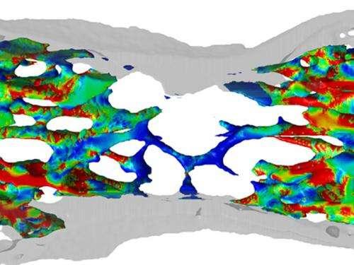 Mechanical stimuli control bone development