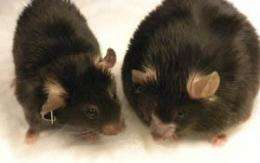 MEND researchers are ready for human trials of an obesity drug showing dramatic results in mice