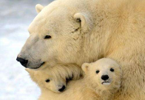 Migrating polar bears, bird colonies cross the Bering Strait as they pass from Chukotka into Alaska