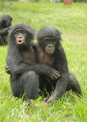 Young apes manage emotions like humans, study says