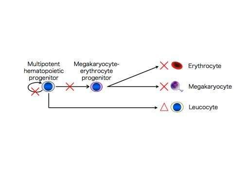 Modeling of congenital amegakaryocytic thrombocytopenia using iPS cell technology