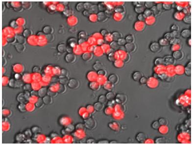 Molecular beacons light path to cardiac muscle repair