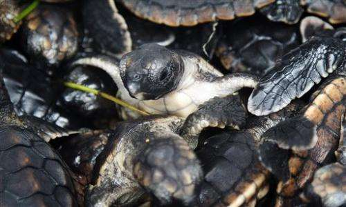 More than 500 baby sea turtles released off Fla.